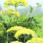 anis - צמח האניס