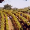 כרמי יינות
